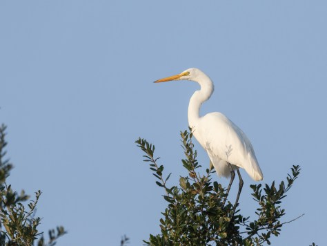 Great Egret Keeping Watch