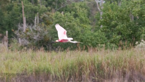 Flying Through A Swamp, Roseate Spoonbill