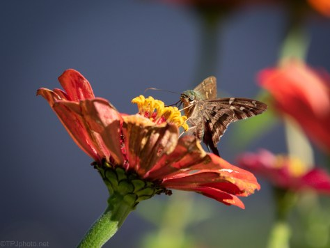 Tiny Skipper (2)