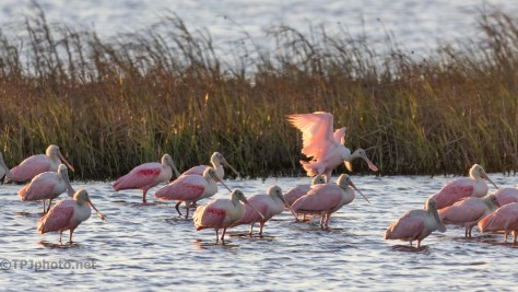 Spoonbill Joining Others At Dawn