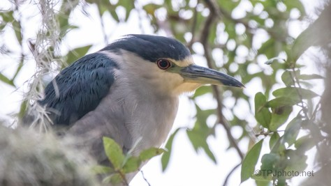 A Black-crowned Night Heron