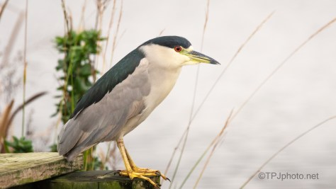 On A Trunk, Adult Night Heron