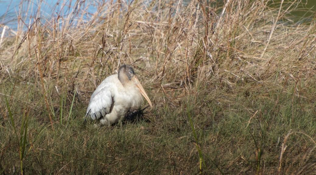 Excited Wood Stork