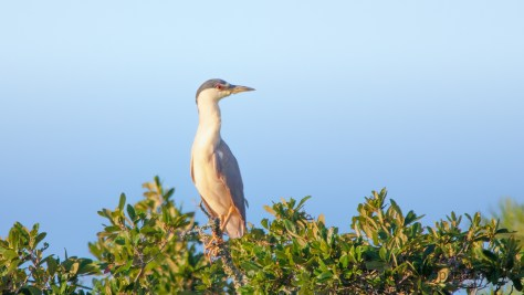 Out Of Place, Night Heron