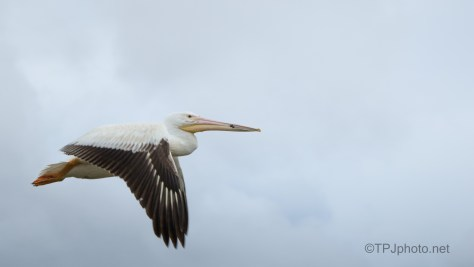 Big Guy Fly By, White Pelican