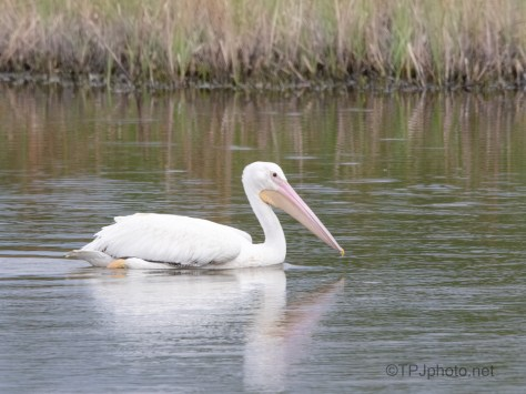 Pelican On The Edge Of A Marsh