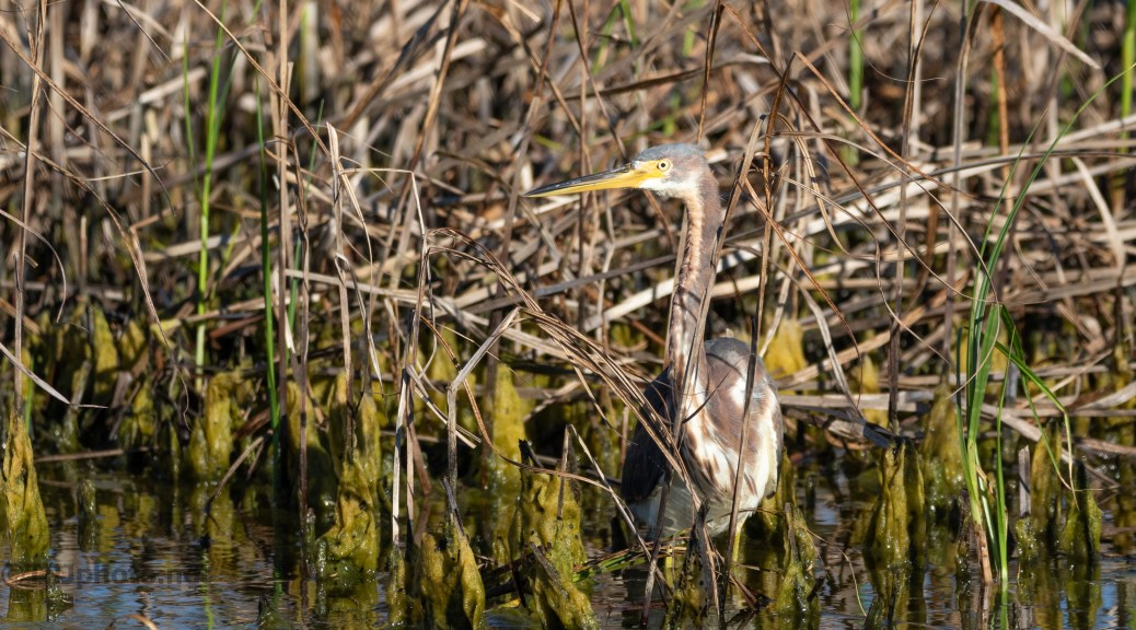 He Moved, Tricolored Heron