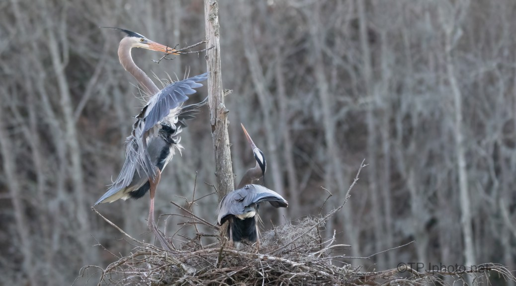 Special Delivery, Great Blue Herons
