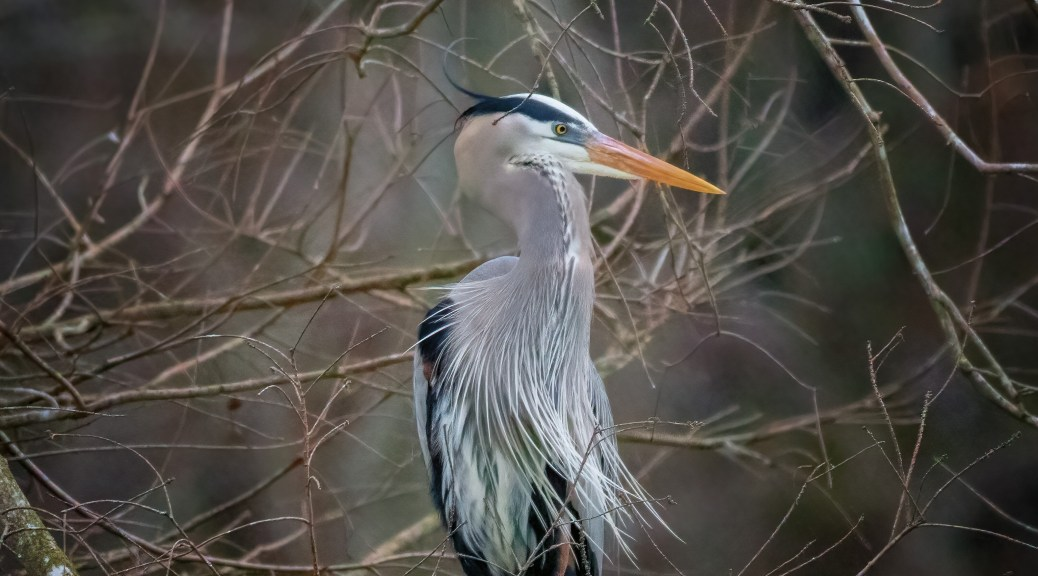 Portrait Great Blue Heron