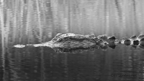 Reflection On The Water, American Alligator