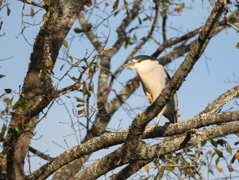 Adult Black-crowned Night Heron