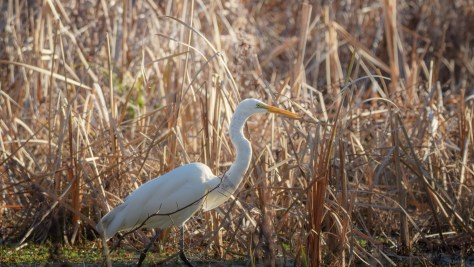 Great Egret, Edge Of A Swamp