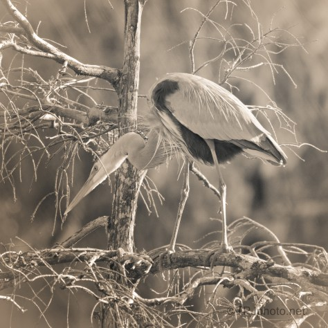 Sepia Great Blue
