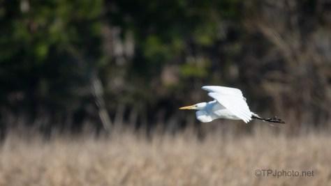 Across A Marsh, Egret
