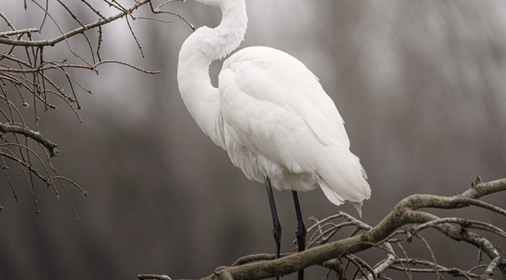 In A Rookery, Egret