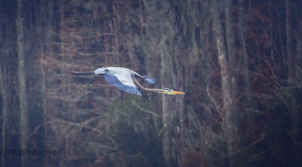 Great Blue Heron Over A Swamp