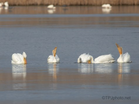 Small Group That Stayed Near, Pelican