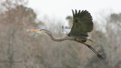 In Flight, Great Blue Heron