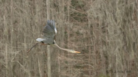 Fly By, Great Blue