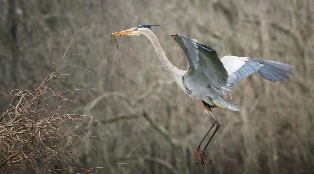 Heron Ready To Land