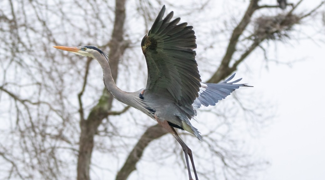Great Blue Flying To A Nest