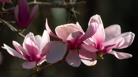Magnolias Are Blooming