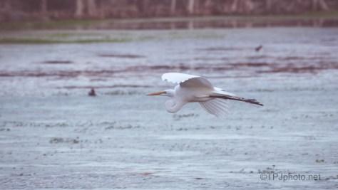 Across The Swamp, Egret