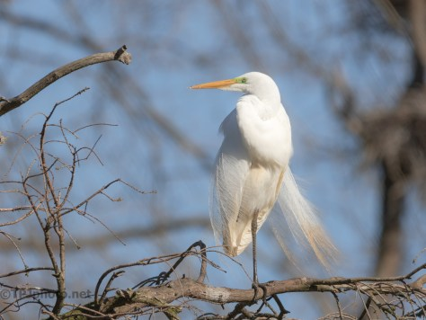 Early Arrival. Egret