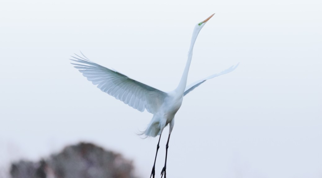 Great Egret In A Rookery