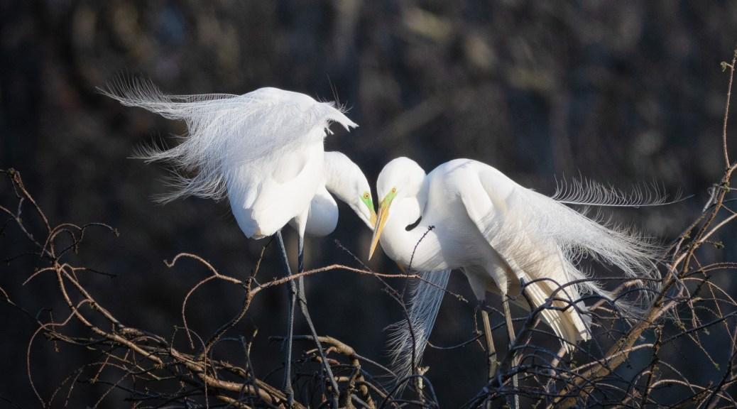 An Egret Pair