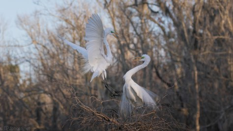 A Great Egret Pair