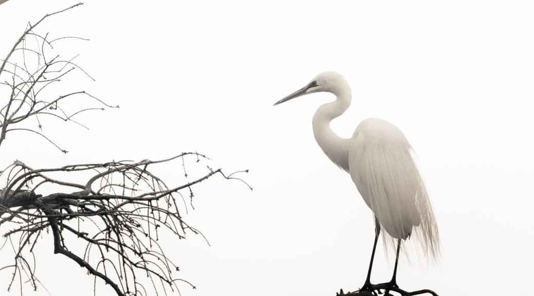 Black And White Egret
