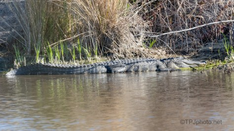 Locals In The Sun, Alligator