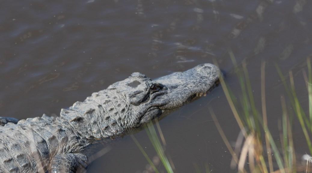 Look Down, Alligator