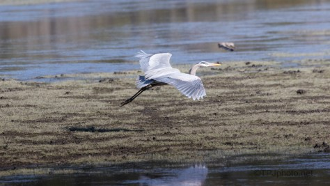 Great Blue Comes To A Marsh