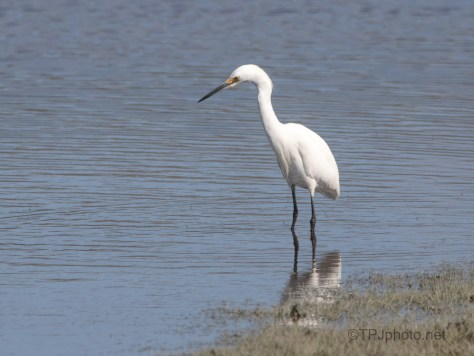 Around A Marsh, Snowy Egret