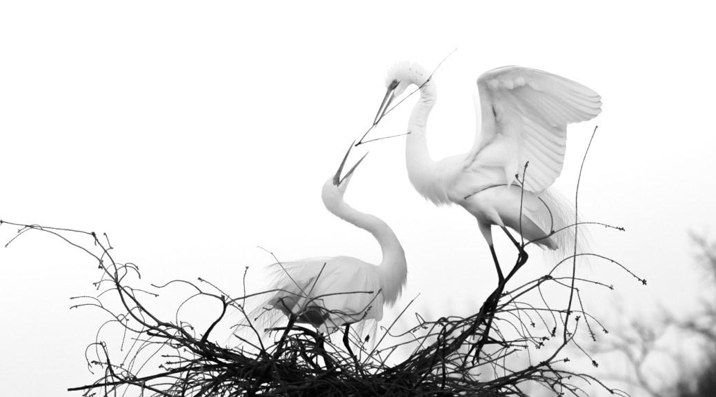 Egret Pair, Black And White