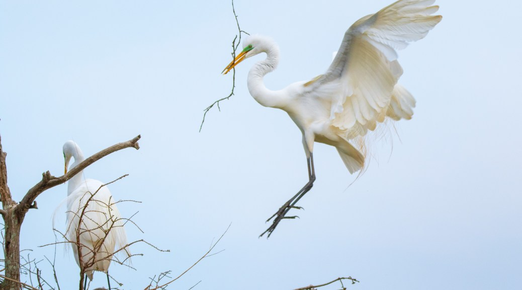 Another Delivery, Great Egret