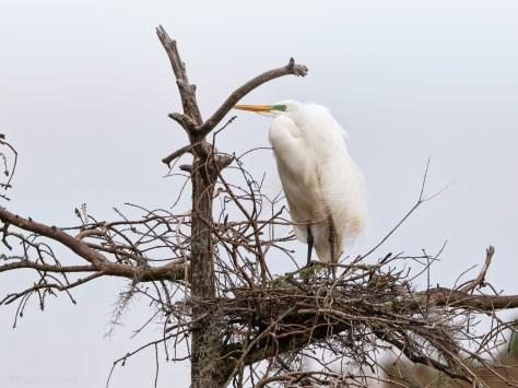 Settling In, Egret