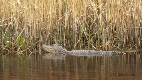 In The Reeds, Alligators