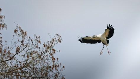 New Comer, Stork