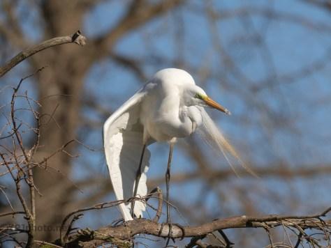 Egrets Showing Off