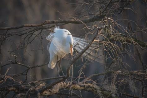 Soft Evening Light, Egret