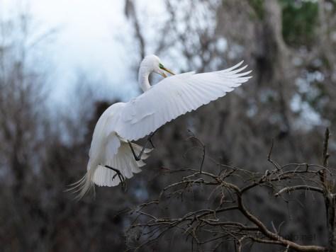 An Egret Landing