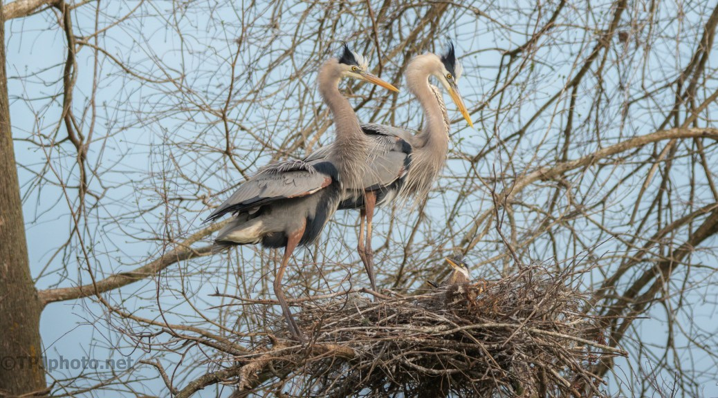 Family Portrait, Great Blue Herons