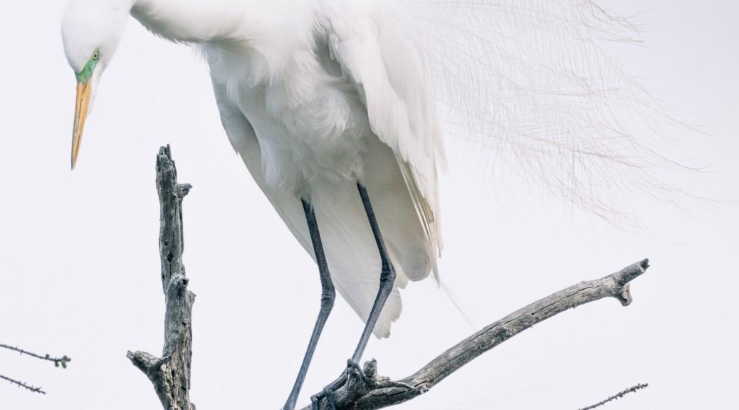 Great Egret In Bald Cypress
