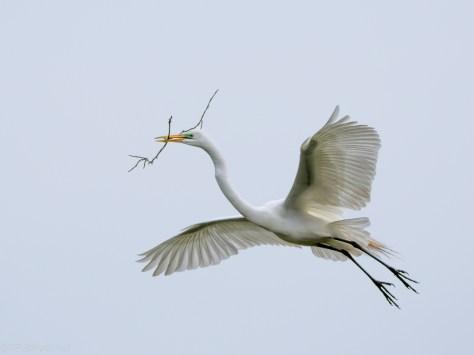 Great Egret Flight Series