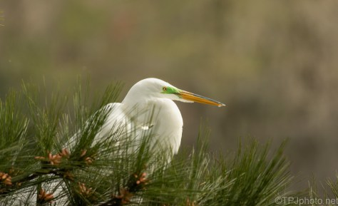 In A Pine, Great Egret