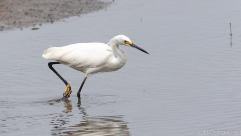The 'Snowy' Strut, Egret