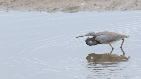 Another Quick Snatch, Tricolored Heron